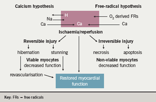 Figure 1. Ischaemia-reperfusion injury and the calcium and freeradical hypotheses. After the aortic cross-clamp is removed, the myocardial cell may function normally, be stunned, or become dysfunctional due to either necrosis or apoptosis