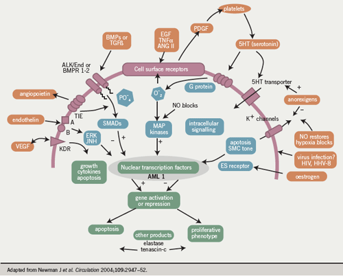 Diagram of the pathophysiology of pulmonary arterial hypertension showing circulating cells and mediators