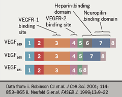 Figure 1. Vascular endothelial growth factor (VEGF) exists in multiple isoforms that differ in their solubility and heparinbinding characteristics