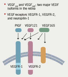 Figure 2. There are a number of different receptors for VEGF in the eye. Different isoforms of VEGF have varying affinities for different receptor types