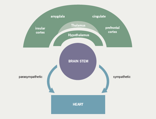 Figure 3. Schematic representing the cortical and subcortical structures involved in cardiac autonomic control