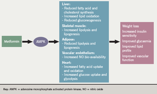 Figure 1. Proposed mechanisms of action for metformin