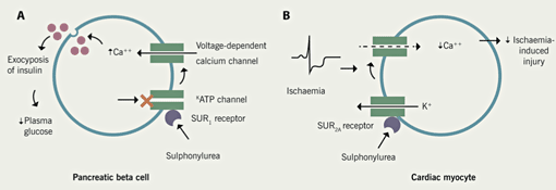 Figure 1. A: Sulphonylureas bind to the SUR1 receptor on the cell membrane of pancreatic beta cells, which results in closure of ATP-K+ channels. This allows an influx of calcium which results in exocytosis of insulin. B: ATP sensitive potassium channels protect the heart during myocardial ischaemia. The reduction in voltage-dependent calcium influx reduces myocardial contractility and oxygen demand. By binding to the SUR2A receptor on cardiac myocytes and blocking ATP-K+ channels sulphonylureas may prevent this happening