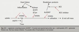 Figure 1. Some possible pathways for the development of anaemia in patients with chronic heart failure