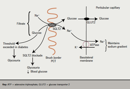 Figure 1. SGLT2, a high-capacity, low-affinity transporter of glucose and sodium is found in high concentration at the brush border membrane of the S1 and S2 segment of the proximal convoluted tubule (PCT). SGLT2 binds to sodium and glucose in the filtrate and these compounds are translocated across the apical cell membrane, an active process driven by the electrochemical sodium gradient between tubular filtrate and the cell. The second stage of re-absorption is the transport of glucose through the utilisation of GLUT2 transporters in the basolateral membrane. In poorly controlled diabetes, the threshold for re-absorption is exceeded resulting in glycosuria. By blocking the SGLT2 transporter, re-absorption of glucose is reduced resulting in glycosuria and a reduction in blood glucose levels