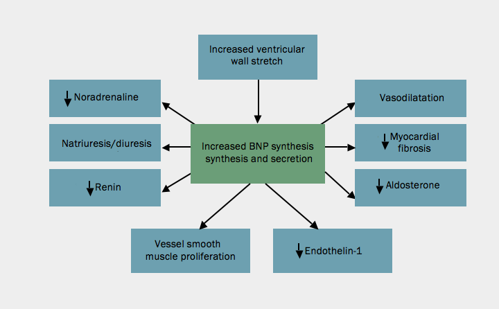 Figure 1. Actions of B-type natriuretic peptide (BNP)