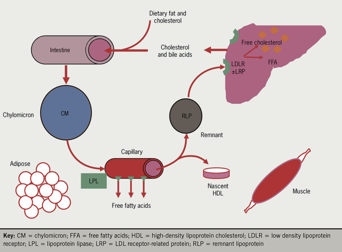 Figure 3. The exogenous lipoprotein pathway