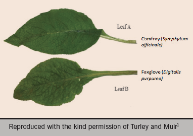 Figure 4. A potentially fatal misidentification – the comfrey leaf versus the foxglove leaf