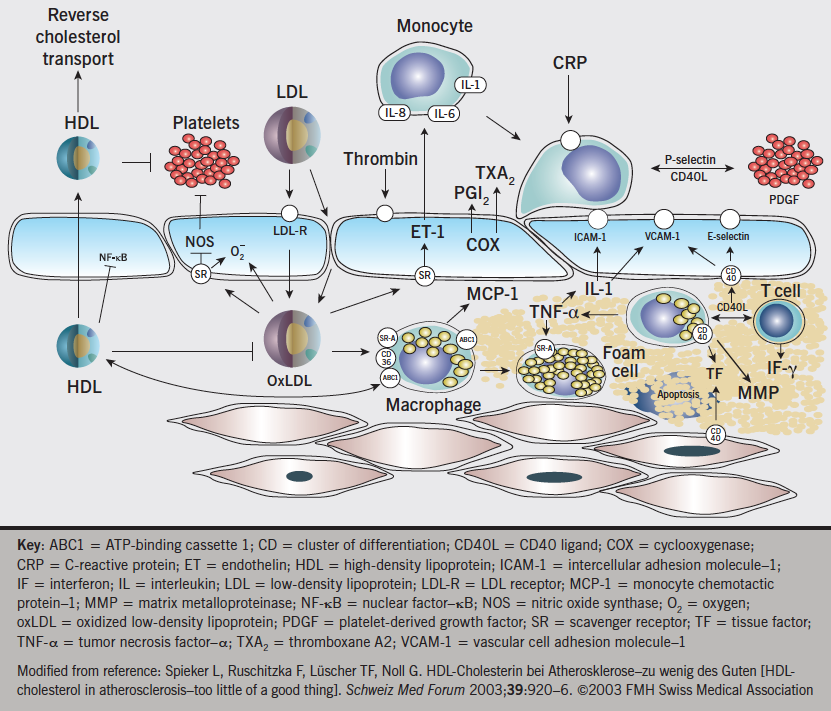Figure 2. Endothelium and atherosclerosis. Interplay of lipids, inflammatory cells, mediators, and the vessel wall in atherogenesis