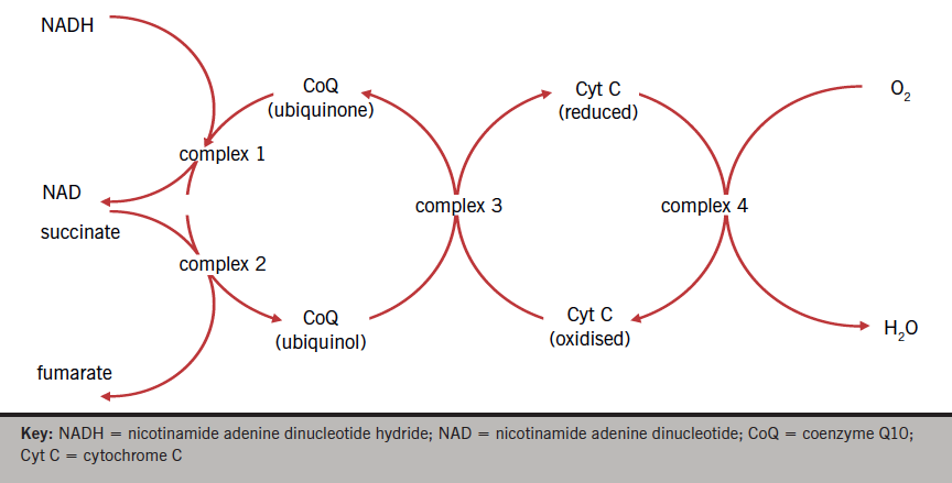 Figure 2. Role of coenzyme Q10 in mitochondrial electron transfer