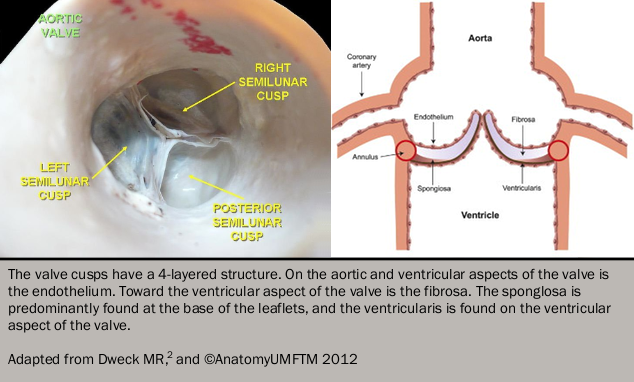Figure 1. The normal structure of the trileaflet aortic valve