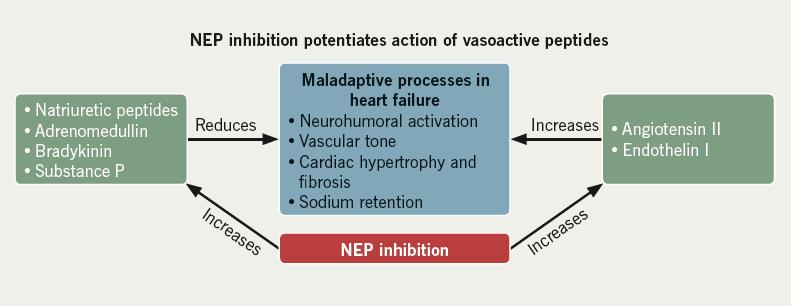 Figure 2. Impact of NEP (neprilysin) inhibition on various endogenous vasoactive peptides27