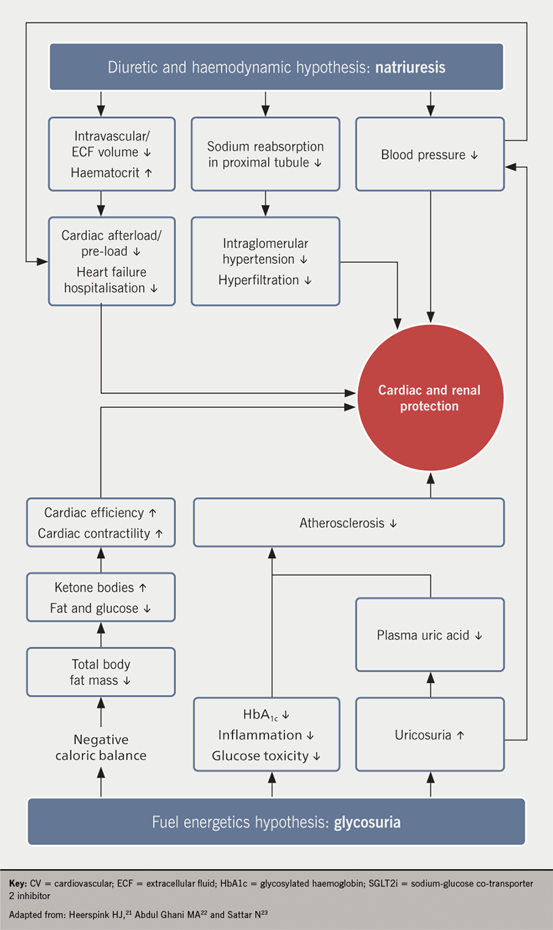 Diabetes module 4 - Figure 1. Potential mechanisms involved in cardiovascular risk reduction with SGLT2 inhibitors