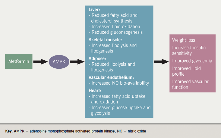 Diabetes module 2 - Figure 1. Proposed mechanism of actions for metformin. Its effects have not been fully elucidated but are thought to involve AMPK activation. This has a variety of effects in the liver, skeletal muscle, adipose tissue, the heart and vascular endothelium