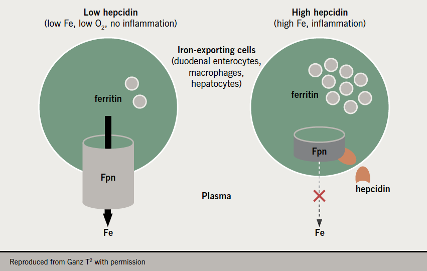 Iron supplement - Figure 1. Hepcidin controls the activity of ferroportin (Fpn), a transmembrane iron exporter present at sites of absorption and iron storage. Patients with heart failure often have high levels of hepcidin, reducing iron flux