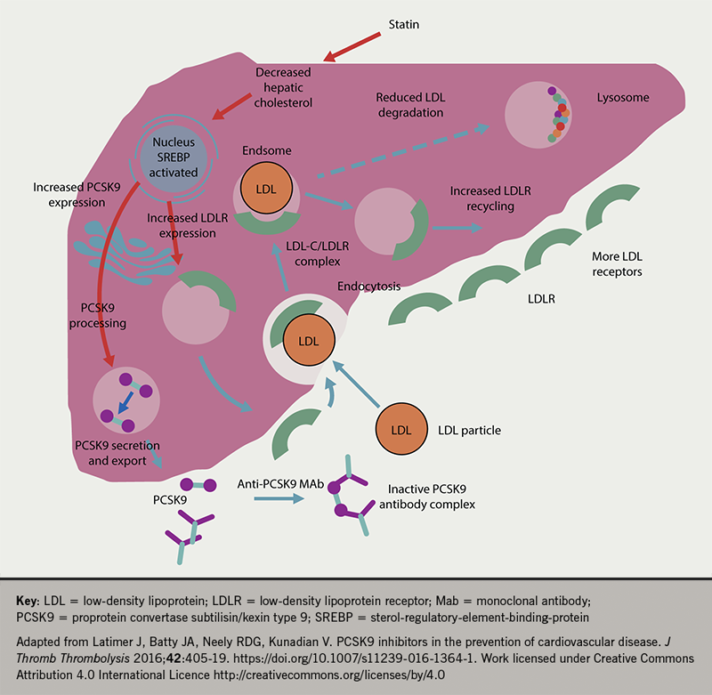 Lipids module 4 - Figure 5. Mechanism of action of PCSK9 inhibitors in presence of a statin