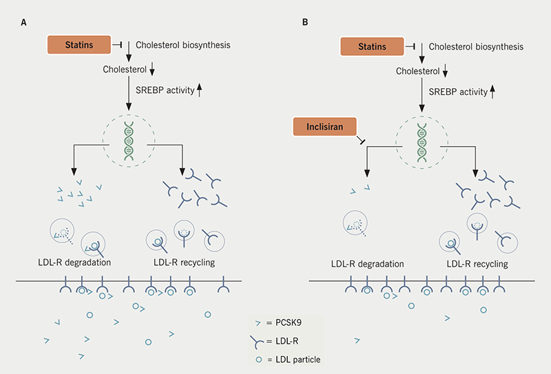 Inclisiran supplement - article 3: Figure 1. A. When a low-density lipoprotein (LDL) particle binds to the LDL-receptor (LDL-R) it is internalised, the LDL particle is degraded, and the LDL-R is recycled to the cell's surface. Binding of proprotein convertase subtilisin/kexin type 9 (PCSK9) disrupts this recycling process and initiates degradation of the whole receptor/ligand complex. Statin treatment inhibits cholesterol biosynthesis, which leads to a reduced intracellular cholesterol concentration. This activates the cholesterol-sensing transcription factor sterol recognition element binding protein (SREBP). Activated SREBP increases the expression of LDL-R. Hence, the number of LDL-R on hepatocyte surfaces increases, allowing a greater clearance of LDL particles. However, SREBP also activates PCSK9 synthesis, which, in turn, reduces LDL-R survival time.13 B. Addition of inclisiran lowers circulating levels of PCSK9 and attenuates LDL-R degradation, thus, enhancing hepatic LDL-R survival. Hence, combination therapy of statins and a PCSK9-targeting medication like inclisiran facilitates both, abundance of LDL-R and increased survival time
